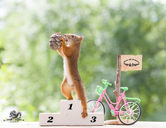 red squirrel on a podium hold a pinecone (Geert Weggen) Tags: animal backlit balance bleachers bright cheerful clay claycourt closeup court cute groupofobjects humor hypnosis imagefocustechnique looking mammal matchsport nature nopeople outdoors photography positiveemotion red rodent selectivefocus sport sportset sportsequipment squirrel staring sweden horizontal bike cycle vehicle travel road podium tourdefrance race price win flag france pinecone geert weggen ragunda jämtland bispgården