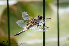 Libellule à quatre points (Libellula quadrimaculata) (Oric1) Tags: 22 7dmk2 canon côtesdarmor france jeanlucmolle oric1 tamron150600 animal armorique breizh bretagne brittany dragonfly eos libellule nature