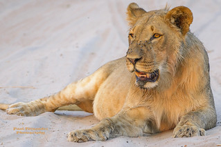 Sub-Adult Male Lion with a Full Belly at Chobe National Park, Botswana