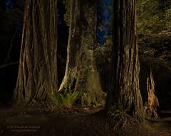 Lady Bird Grove at Night (dtredinnick13) Tags: california ladybirdgrove lightpainting npan nationalparks redwoods redwoodsnationalandstateparks coastflashlight ctogel flashlight gels light landscape landscapephotography tree nature nikon d850 nikon1424