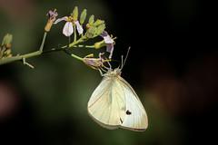 kopfüber (Sylsine) Tags: blüten insekten jahreszeiten kohlweisling kräuter oregano pflanze pflanzen schmetterling sommer tiere