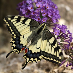 """Papilio machaon"" - koninginnenpage (bugman11) Tags: papiliomachaon bug bugs butterfly butterflies insect insects animal animals fauna nature nederland thenetherlands harskamp canon 100mm28lmacro flora flower flowers macro koninginnepage"