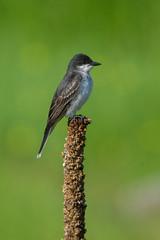 Clarke_180624_9414.jpg (www.raincoastphoto.com) Tags: easternkingbird birds flycatchers birdsofbritishcolumbia tyrannustyrannus birdsofnorthamerica birdsofcanada