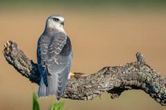 Black-Shouldered Kite Juvenile (Josh13770) Tags: arcosdelafrontera 200500mmvr nikon nikkor blackwingedkite elanio elanioazul blackshoulderedkite kite blackkite
