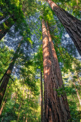 Tall Trees (dougbank) Tags: trees tree california green nature landscapes landscape vertical outdoors outside artsy redwoods aurorahdr hdr forest nationalmonument vegetation