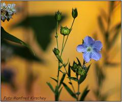 Blumenwiese (manfredkirschey) Tags: nature natur blumenwiese wildblumen