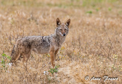 Coyote (Anne Marie Fraser) Tags: coyote wildlife nature field grass california pointreyesnationalseashore mammal animal
