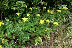 Tansy (nz_willowherb) Tags: tansy tanacetumvulgare scotland fife wormit arable weeds walk fields flora