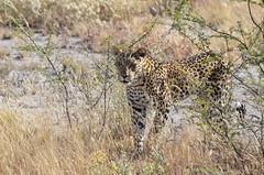 DSC_2553 (Andrew Nakamura) Tags: etosha namibia etoshanationalpark projectdragonfly earthexpeditions mammal bigcat felid leopard africanleopard animal wildlife