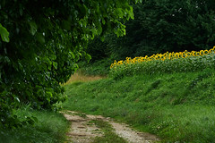 Fontanabona (paolo-p) Tags: alberi trees gelsi mulberries girasoli sunflowers linee lines fontanabona pagnacco