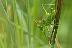 grasshopper macro (kalakeli) Tags: grasshopper heuschrecken droverheide naturschutzgebiet naturereserve kreuzau düren juni june 2018 macro closeup grünesheupferd tettigoniaviridissima