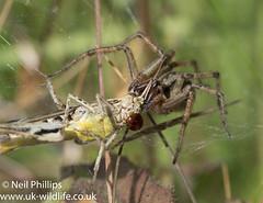 Labyrinth spider-6 (Neil Phillips) Tags: agelenalabyrinthica agelenidae arachnida araneae labyrinthspider arachnid arthropod arthropoda bug invertebrate spider