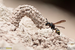 Mason wasp chimneys II (Dom Greves) Tags: behaviour chimney clay construction dorset heathland insect invertebrate june odynerusspinipes spinymasonwasp summer uk wildlife