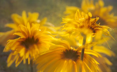 Basking with the Daisy Trio (Charles Opper) Tags: canon daisy georgia spring color daisies doubleexposure floral flowers light nature warm midway unitedstates