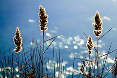 Full Sun (NathalieSt) Tags: camargue europe fz1000 france gard languedocroussillon lumix lumixfz1000 occitanie panasonic eau nature water reeds roseaux bokeh