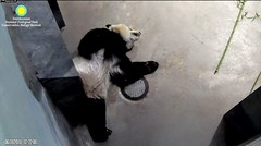 2018_06-18i (gkoo19681) Tags: beibei chubbycubby fuzzywuzzy feetsies naptime blockingdoor hisway contentment comfy toocute sillygoober stayingcool justbecausehecan beingadorable darling ccncby nationalzoo