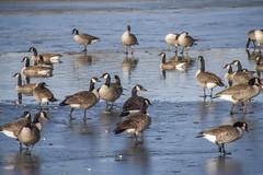 _MG_5479a (Rick_Moeller) Tags: nature wildlife birds stferdinandpark florissant missouri mo outdoors geese canada