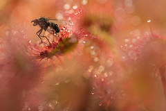 Round Leaved Sundew with a Victim (Daniel Trim) Tags: drosera rotundifolia round leaved sundew plant bog wet nature photography macro eating fly prey insect carnivorous wildlife animals