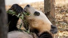 panda - 5415 (ΨᗩSᗰIᘉᗴ HᗴᘉS +19 000 000 thx) Tags: panda zoo pairidaiza nature bambou hensyasmine namur belgium europa aaa namuroise look photo friends be wow yasminehens interest intersting eu fr greatphotographers lanamuroise tellmeastory flickering animal portrait