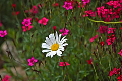 """Live stream"" from my friend's garden 🌷 (2). Summer 2018 in Finland. (L.Lahtinen (nature photography)) Tags: finland summer daisy colours bokeh dof"
