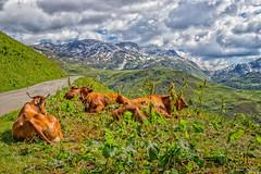 4 Copines... Massif du Beaufortin (Savoie - 06/2018) (gerardcarron) Tags: 18135 canon80d ciel cloud ete hdr landscape massif beaufortin vaches cows montagne mountains nature nuages paysage savoie
