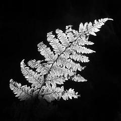 Bracken (l4ts) Tags: landscape derbyshire peakdistrict darkpeak haywood grindleford bracken leaf backlit blackwhite monochrome