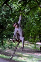 DSC_1323 (rajashekarhk) Tags: monkey tricks lalbagh garden city greenbengaluru karnataka southindia monkeytricks animal rajashekar hkr natu nature natural naturephotography wildlife