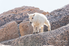 Mountain Goat kid bounds by - Sequence - 3 of 17