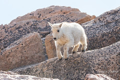 Mountain Goat kid bounds by - Sequence - 4 of 17