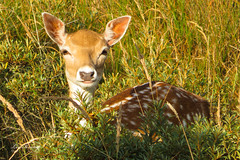Deer (Leo Kramp) Tags: 2018 amsterdamsewaterleidingduinen damhert dieren wandelen natuurfotografie flickr deer zoogdieren