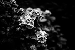 Flowers with No colors (moaan) Tags: kyoto japan jp flower flowering flora hydrangea light sunlight lookingforthesunlight roadside bytheroadside leica leicamp type240 noctilux 50mm f10 leicanoctilux50mmf10 bokeh bokehphotography leicaphotography dof depthoffield utata 2018 bw blackandwhitephotography