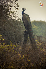 Vividly beautiful (Shikher Singh) Tags: peackcock aravalli jungle forest wire bushes perched feathers crown delhi shikhersimagery