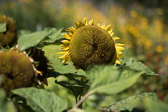 Filoli Sunflower (pictureted) Tags: nikon d810 zeiss1002 filoli filoligardens sunflower