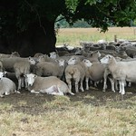 Sheep In the shade P1910585 thumbnail