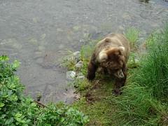 DSC07523 (jrucker94) Tags: alaska katmai katmainationalpark nationalpark bear bears grizzly grizzlybear brooksriver nature outdoors