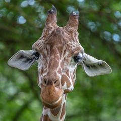 Nicht die Ohren hängen lassen (KaAuenwasser83) Tags: giraffe