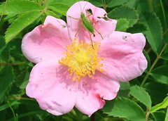 pasture rose (Rosa carolina) at Hayden Prairie State Preserve IA 653A1946 (naturalist@winneshiekwild.com) Tags: pasture rose rosa carolina blooming bush katydid nymph hayden prairie state preserve howard county iowa larry reis