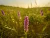 Orchid (Ellen van den Doel) Tags: 2018 kust landscape hoek project juni fotoclub outdoor natuur kwade nature coast landschap field