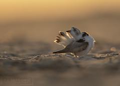 Preening Piping Plover (T L Sepkovic) Tags: pipingplover plover endangered backlight sunrise morninglight teamcanon lenscoat canon 5dmkiv audubon goldenhour shorbird light preening