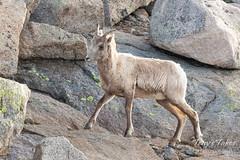 Bighorn Sheep ewe on the rocks