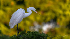 Great Egret - Ardea alba | 2018 - 3 (RGL_Photography) Tags: ardeaalba birding birds birdwatching breedingplumage capemaycounty commonegret egret greategret greatwhiteheron greenlore jerseyshore largeegret mothernature newjersey nikonafs600mmf4gedvr nikond500 oceancityrookery ornithology rookery us unitedstates wildlife wildlifephotography