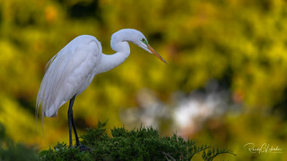 Great Egret - Ardea alba | 2018 - 3