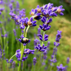 Photo of Beetle in lavender