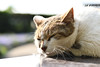 Sleeping cat(眠っている猫) (daigo harada(原田 大吾)) Tags: enoshima view landscape animal