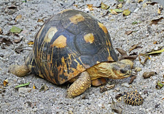 radiated tortoise with baby (vil.sandi) Tags: strahlenschildkröte astrochelysradiata radiatedtortoise landschildkröte kannbiszu188jahrealtwerden lifespansofatleast188years baby madagascar endemic