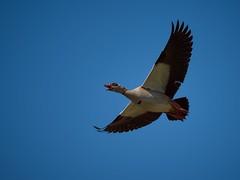 Drone à plumes (rondoudou87) Tags: ouettedégypte ouette egyptian bird oiseau sky ciel bleu blue plume feather bif pentax k1 nature natur wildlife wild smcpda300mmf40edifsdm sauvage color couleur