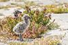Western Gull Chick (Becky Matsubara) Tags: alcatrazisland avian bird birds california charadriiformes gaviotaoccidental goélanddaudubon gull laridae larusoccidentalis nationalpark nature outdoors wegu westerngull wildlife