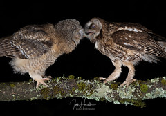 Tawny Owl and owlets (Ian howells wildlife photography) Tags: ianhowells ianhowellswildlifephotography ianhowellswildifephotography nature naturephotography nationalgeographic unitedkingdom wildlife wales wildlifephotography wildbird wild wildbirds tawnyowl tawny owl owlets springwatch