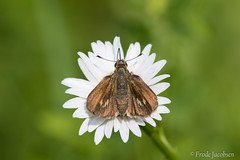 Tawny-edged Skipper (Polites themistocles) (Frode Jacobsen) Tags: tawnyedgedskipper politesthemistocles westvirginia frodejacobsen canoneos7dmarkii canonef30040lisusm insect butterfly lepidoptera