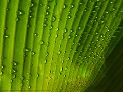 IT STILL RAINS IN KERALA (GOPAN G. NAIR [ GOPS Photography ]) Tags: gopsorg gopangnair gops gopsphotography gopan photography rain drop drops plantain leaf banana kerala monsoon india
